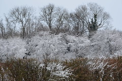 frozen trees (julea2) Tags: trees winter red snow cold apple yellow kent sticks berries blackbird pathway gorse