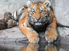 Luva posing at the water (Tambako the Jaguar) Tags: wild portrait cute water rock stone cat zoo cub switzerland big eyes nikon tiger young adorable posing surface explore paws zrich siberian lying amur melancholic d700