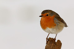 "European Robin (aziouezmazouz) Tags: cute bird nature amazing bokeh vivid beautifulscenery bellissima vibrantcolours thebestofday gününeniyisi stunningsupershot saariysqualitypictures ""flickraward"" vividstriking ""flickraward5"""