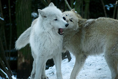 Muzzle bite (steppeland) Tags: brown white snow nature animals wolf arctic polar wolves canines rememberthatmomentlevel1 rememberthatmomentlevel2
