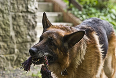 Arousek (richardneve32) Tags: dog republic czech pentax bokeh shepherd rope german f18 limited fa liberec 77mm reichenberg k10d pentaxlife smcpfa77mmf18