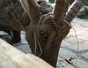 (Frichirraya) Tags: animal germany deutschland zoo spring goat ziege bielefeld olderdissen tier