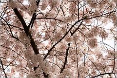 Bloesem (elly-b56) Tags: canon 7d lente bloesem almere regenboogbuurt