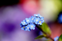 わすれなぐさ (勿忘草)/Myosotis scorpioides (nobuflickr) Tags: flower nature japan kyoto forgetmenot myosotisscorpioides 勿忘草 thekyotobotanicalgarden waterforgetmenot わすれなぐさ awesomeblossoms ムラサキ科ワスレナグサ属 20140309dsc02113