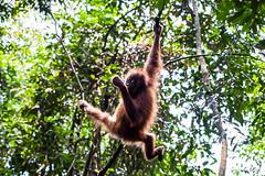 Ratna 4802 (Ursula in Aus (Resting - Away)) Tags: animal sumatra indonesia unesco orangutan ape greatape bukitlawang gunungleusernationalpark earthasia