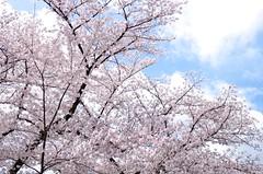二条城の桜 Sakura at Nijyo Castle (ELCAN KE-7A) Tags: japan cherry kyoto pentax blossom 京都 桜 日本 castel 二条城 2014 染井吉野 ソメイヨシノ nijyo ペンタックス k5ⅱs