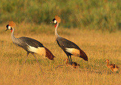 Crowned Crane family (Rainbirder) Tags: kenya amboseli eastafricancrownedcrane balearicaregulorumgibbericeps rainbirder
