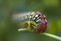 Worm (Jesus Vivas) Tags: green animal like colores worm gusano