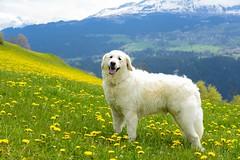 Auf der Suche nach der perfekten Löwenzahnwiese (balu51) Tags: dog white mountain green yellow landscape spring walk meadow wiese dandelion berge mai hund gelb grün landschaft kuvasz frühling spaziergang löwenzahn 2016 graubünden surselva ungarischerhirtenhund löwenzahnwiesen copyrightbybalu51