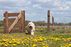 Happy Fence Friday! (lique1304) Tags: sky dog pet flower nature grass clouds fence fun outdoor friday bobtail dandelions oes hff