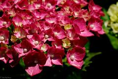 6 : Hydrangea June (Colorful-wind) Tags: light shadow red plant flower color colors june japan colorful fujifilm hydrangea fukuoka lightandshadow wakamatsu ajisai 2016 6 kitakyusyu    xt1