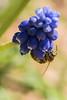 From down below (ralfkai41) Tags: flowers plants macro animals tiere outdoor natur blossoms pflanzen insects blumen makro blüte honeybee naturemacro insekten biene hyazinthe honigbiene