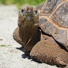 Remember E.T. ? (FocusPocus Photography) Tags: giant zoo tortoise karlsruhe tier schildkrte riesenschildkrte tieranimal aldabrachelysgigantea