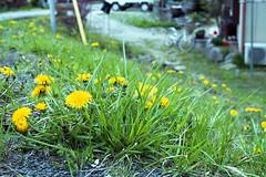 20160424-22 (GenJapan1986) Tags: flower film japan island  miyagi 2016     nikonnewfm2    fujifilmfujicolorsuperiapremium400  sabusawajima