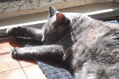 Josie taking the best spot. (~ MCJ) Tags: josie rescuecat hyperthyroidism 9yo radioactiveiodinetreatment