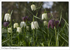 Snake's Head Fritillary Flowers (Paul Simpson Photography) Tags: flowers flower nature petals naturalworld snakesheadfritillary photosof imageof photoof imagesof sonya77 paulsimpsonphotography spring2016