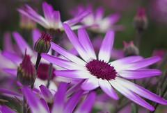 Star Wars ... :-) ( Bo ) Tags: pericallissenetti flower plant garden outdoor colour purple white green colourful petal canong16 powershot macro bokeh europe england britain uk starwars movie film spring2016 may dof