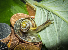 Turbo the Snail's race winnings (theGR0WLER) Tags: uk two white macro green nature yellow metal race fun one leaf coin elizabeth zoom unitedkingdom head five shell snail cash penny ten gloss swirl sterling metalic winning thequeen pence superzoom macromondays smallerthanacoin