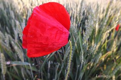 De paseo por la naturaleza (Lumiago) Tags: naturaleza rojo amapola esenciadelanaturaleza