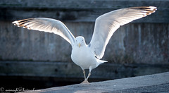 vaxholm vacation-1020861 (aniruddha.todkar) Tags: day2 birds kastellet vaxholm