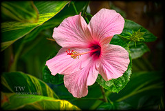 (winn.timothy59) Tags: pink plant flower macro texture nature fantasticnature mygearandme mygearandmepremium mygearandmebronze mygearandmesilver ringexcellence