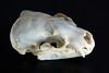 Taxidea taxus (La fille renne) Tags: skeleton skull curio crâne osteology taxideataxus blaireauaméricain