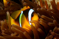 Amphiprion bicinctus (Joao Pedro Silva) Tags: orange yellow gold redsea egypt sharmelsheikh liveaboard beaconrock oceandream commensalism amphiprionbicinctus