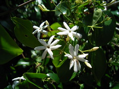 Jasminum volubile 4 (barryaceae) Tags: park new plants wales vines rainforest south australian australia climbing national cape species forster climbers hawke climbingplants booti australianrainforestplants australianvines australianclimbingplants ausrfps ausvines