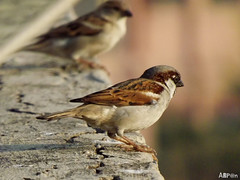 House Sparrows (ArpanSaha) Tags: birds housesparrows eltringexcellence