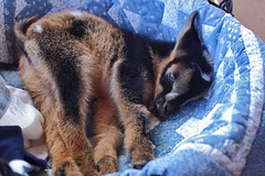 Comfortable (hessamt) Tags: blue furry fuzzy farm calm blanket rest babygoat comfort relaxation samhess