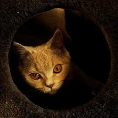 fifì chat (archifra -francesco de vincenzi-) Tags: italy cat chat italia gato gatto ritratto micio isernia γάτα bestofcats catmoments archifraisernia francescodevincenzi