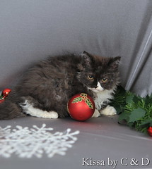 DEC_8369 (C & D Photo) Tags: christmas cats paris france umbrella cat 50mm chats nikon kitten chat gifts amour breed curlyhair fetes kissa parapluie selkirkrex chatons breeder petphotography cattery colorpoint bluekitten elevage guirlandes chatbleu beautifulkitten 2770mm su800 photopro paquetcadeau d700 sb900 impressedbeauties chatterie espritdenoel photosstudio decorationnoel whiteandblackkitten photoanimaliere chatnoiretblanc yelloweyescat photographieanimaliere cndphotos cndphoto chritsmasspirit beauxchatons nicestkittenever chatfrise chatcremeetbleu chatsyeuxjaunes