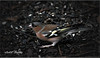 MALE CHAFFINCH (Shaun's Wildlife Photography) Tags: birds shaund