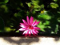 morning lotus (som300) Tags: plant flower motorola zn5 lotus