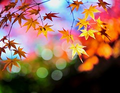 Colorful Autumn (Jennifer ) Tags: autumn macro colors leaves japan nikon kyoto colorful autumnleaves        d3s kayede carlzeiss100mmf2