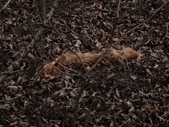 Kitsune - Vulpes Vulpes - The Red Fox - Der Rotfuchs - Lobau (hedbavny) Tags: wood autumnfoliage red rot nature animal fur dead found mammal death leaf laub natur autumnleaves fox mementomori braun corpse anonymous tot wald tod deadbody tier fuchs kitsune nameless postmortem wegesrand vanitas herbstlaub fund erde vulpesvulpes pelz vergnglichkeit anonym namenlos verwelkt gefunden unterholz waldboden leiche sugetier gestrpp naturfotografie canidae lobau kadaver wienvienna sterreichaustria rotfuchs dickicht sterblichkeit tierkadaver fuchspelz postmortemfotografie