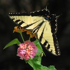 12 Days of Christmas Butterflies - #1 Eastern Tiger swallowtail