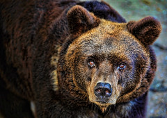 Bear - Marcello Bardi