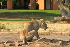 Lioness drinking (Stefano Gambassi) Tags: africa female southafrica lion reserve safari leone lioness madikwe sudafrica leonessa