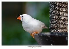 Ponder (SJay Photo) Tags: cambridge white bird closeup java conservatory sparrow