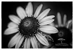 Petal Necklace (Jerry-Dominique) Tags: bw flower floral beautiful closeup blackwhite petals nikon dof bud pollen
