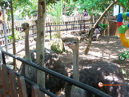 Atracttive Emu At Batu Secret Zoo