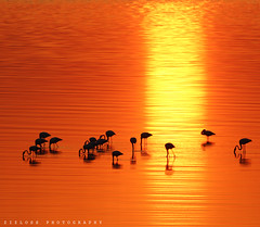 Flamingos.. (ZiZLoSs) Tags: silhouette canon eos usm aziz abdulaziz   f56l ef400mmf56lusm zizloss  ef400mm 3aziz almanie abdulazizalmanie canoneos600d
