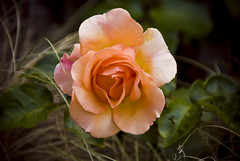 My favourite rose by SilverStack, on Flickr