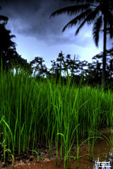 I will grow and be eaten one day ! (Teo Morabito) Tags: blue bali black reflection green nature water field indonesia day rice bokeh gorgeous coloreful photosteomorabitocom wwwphotosteomorabitocom wwwteomorabitocom teomorabito