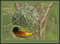 The Estate Agent! (Rainbirder) Tags: ngc lakebaringo goldenbackedweaver ploceusjacksoni jacksonsgoldenbackedweaver rainbirder