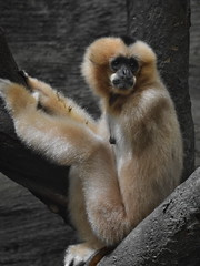 (Christopher Nemeth) Tags: animal zoo pittsburgh armless pittsburghzoo primate gibbon whitecheekedgibbon