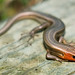Male Five-lined Skink