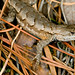 Male Fence Lizard