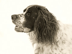 Snow (explored) (MomoFotografi) Tags: bw dog white snow black monochrome 50mm high key flickr noir hunting explore highkey neige f2 et blanc zuiko hunt chasse zd flickrexplore explored chiendechasse frenchspaniel pagneulfranais
